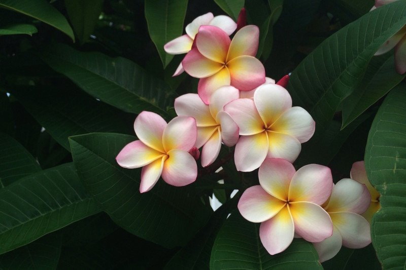 Kauai Hawaii Plumeria Flower.