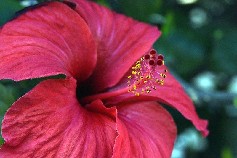 Red Hibiscus Flower found in Kauai Hawaii Hiking Trail.