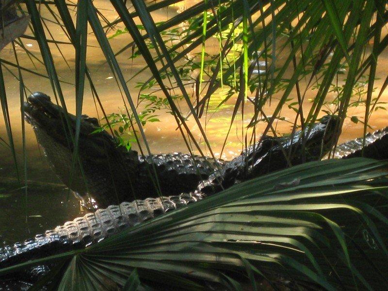Mating North America Alligator Wildlife Florida Swamp