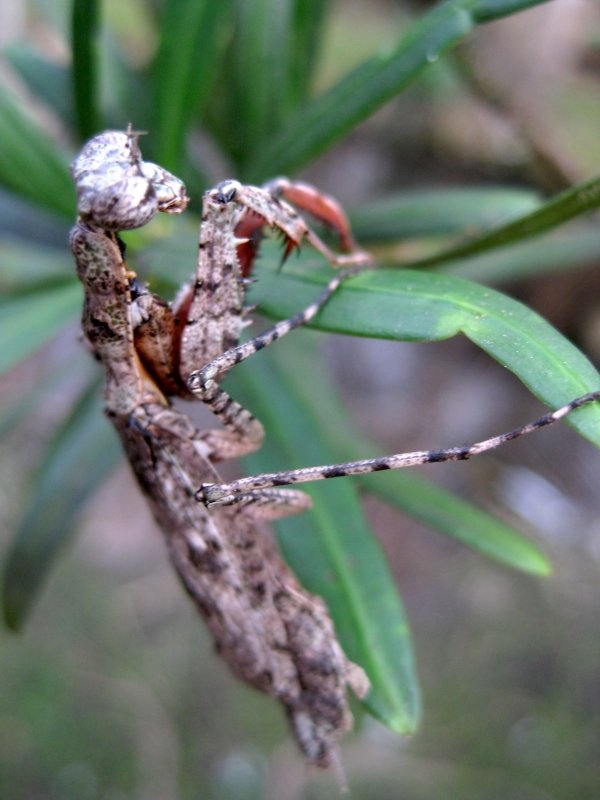 Praying Mantis Wildlife Photography Florida