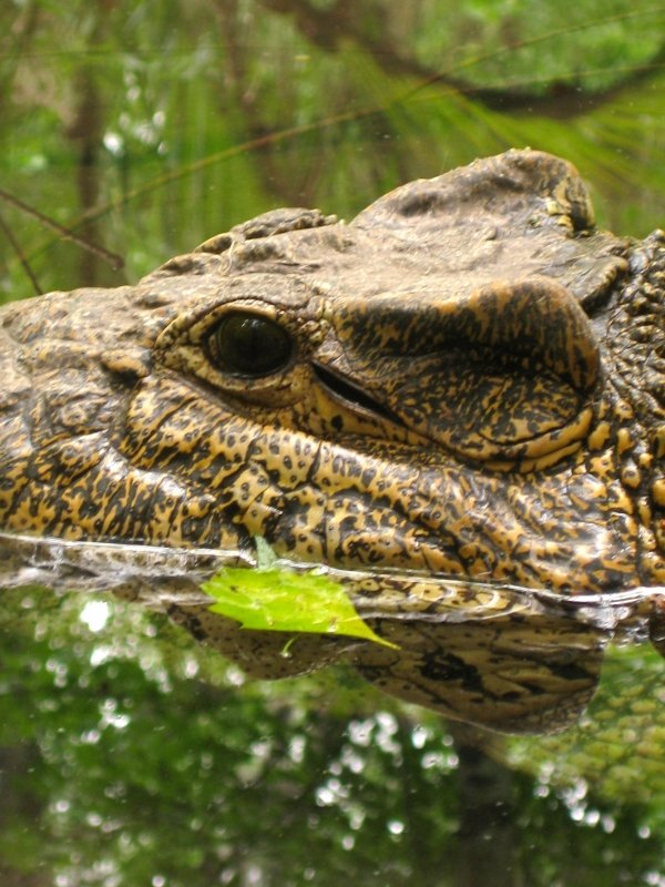 Cuban Crocodile Wildlife Florida