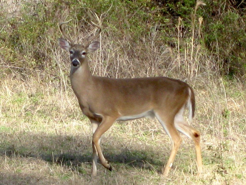 White Tail Deer Wildlife Florida