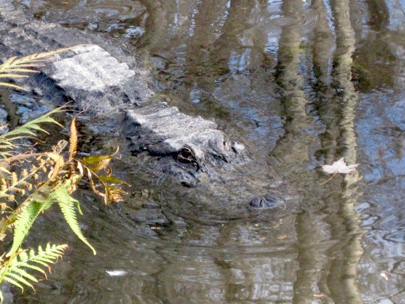 North American Alligator Hiking in Florida: The Ocala National Forest | Part I