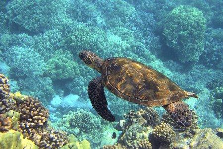 Sea Turtle swimming in Kauai Hawaii.