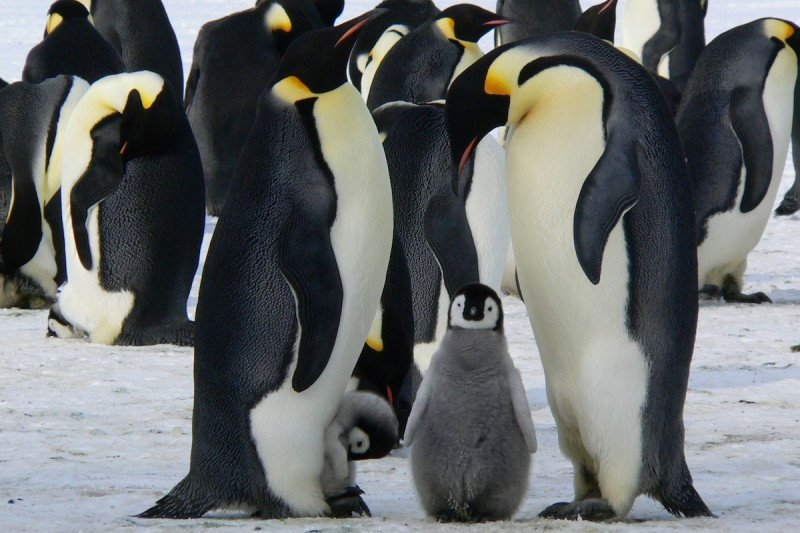 Penguins raise their young in Antarctica
