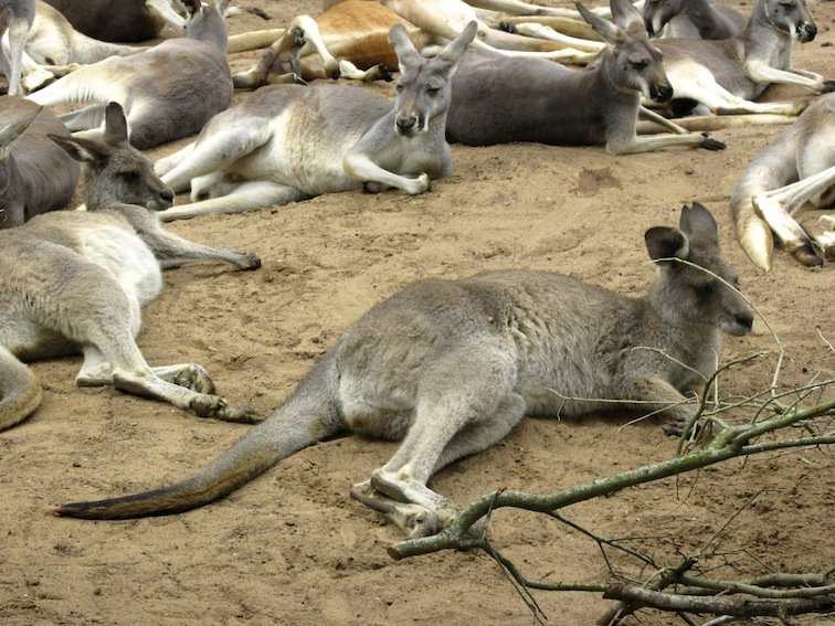 Mob of Kangaroo