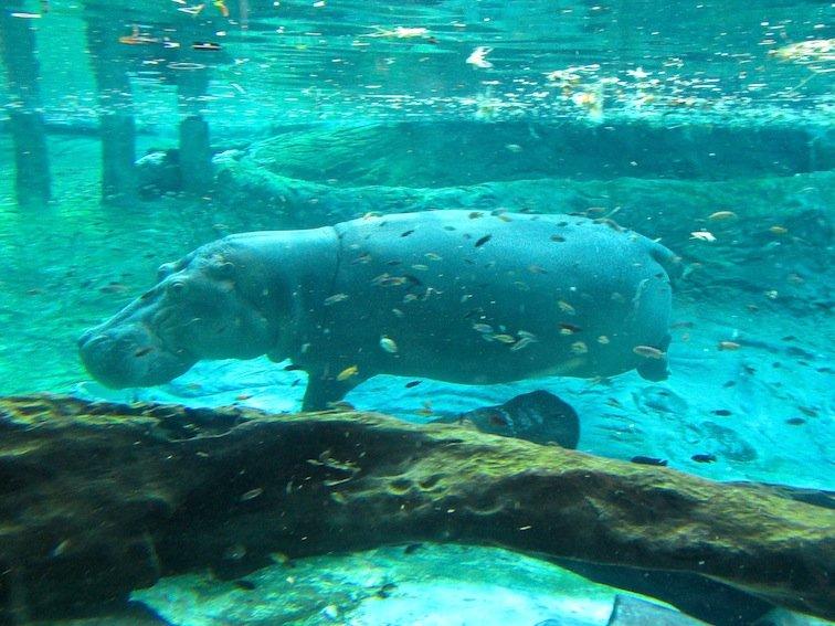 Underwater Hippo