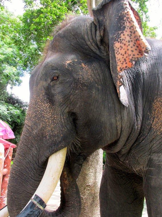 Chiang Mai Zoo Elephant