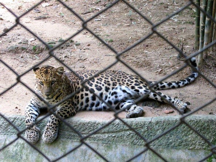 Chiang Mai Zoo Leopard