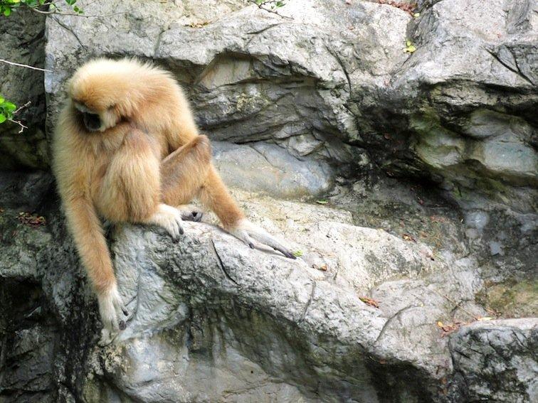Chiang Mai Zoo Monkey