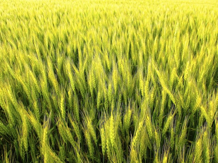 Wheat Fields Missouri