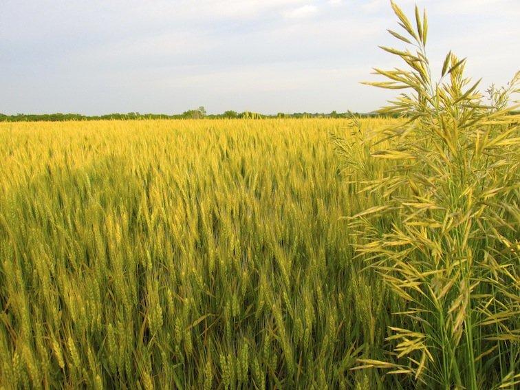 Wheat Fields Missouri