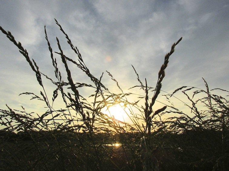 Wheat Fields Missouri Sunset