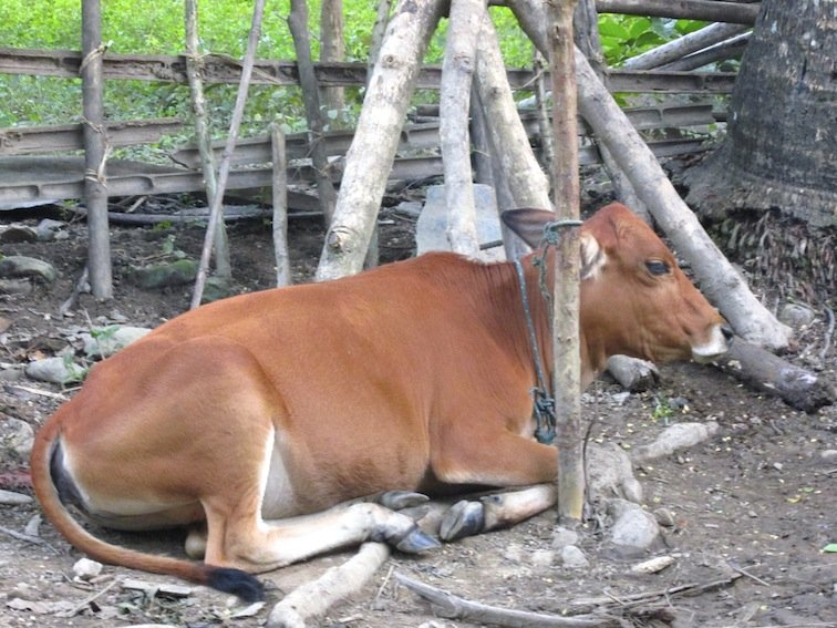 Trekking to Chantanohm Banna Village Northern Laos Cattle