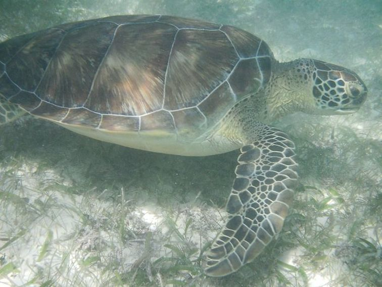 Wild Sea Turtle Swimming Cancun Mexico