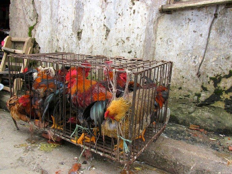 Sapa Vietnam Market Chickens