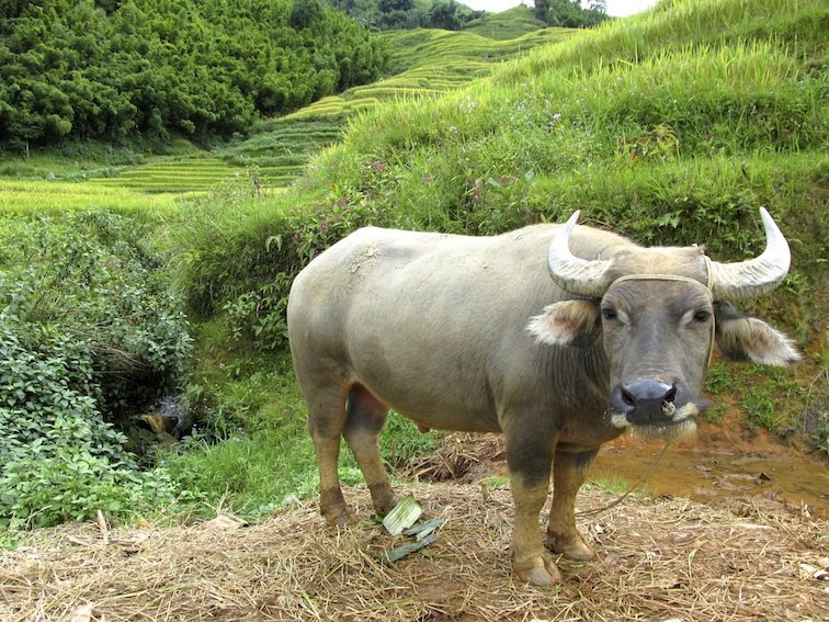 Sapa Vietnam Rice Fields Southeast Asia Rice Fields Bull Cow Buffalo