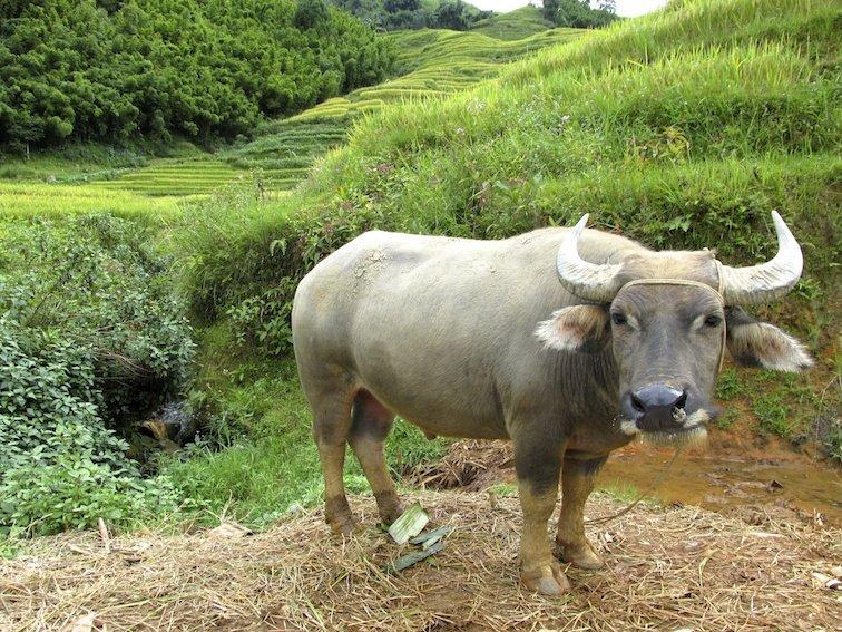 Sapa Vietnam Rice Fields Southeast Asia Rice Fields Bull Cow Buffalo