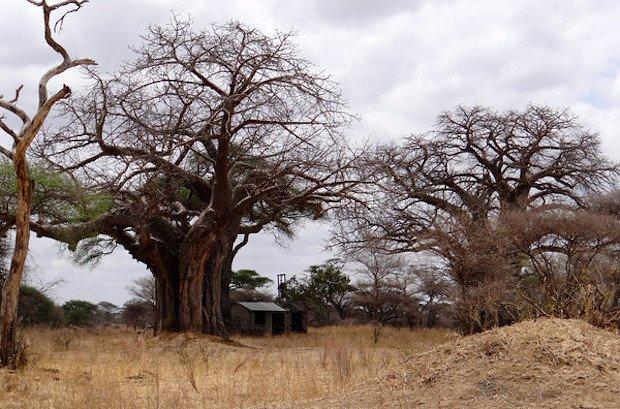 Baobab South Africa Tanzania Wandering Educators