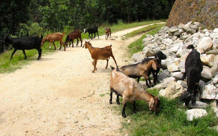 Hiking Shivapuri Peak Kathmandu Nepal Goats