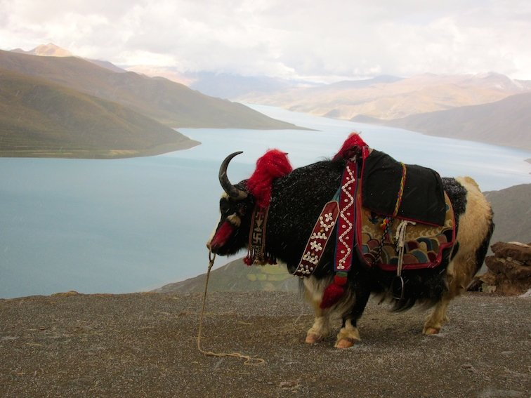 Yamdrok Lake Tibet China Bull Yak