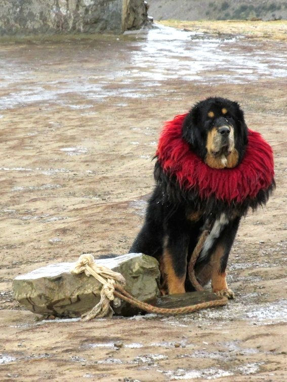 Yamdrok Lake Tibet China Tibetan Mastiff Dog