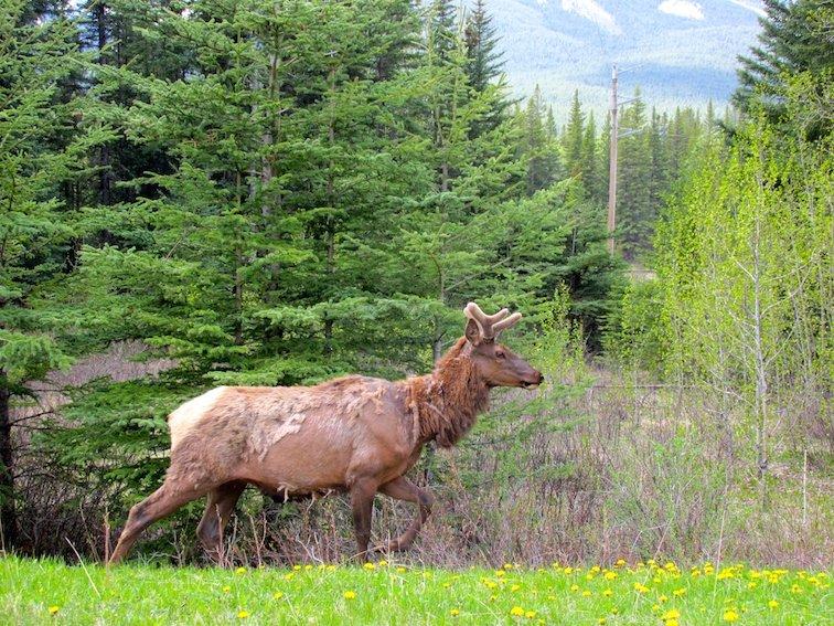 Banff National Park Alberta Canada Elk