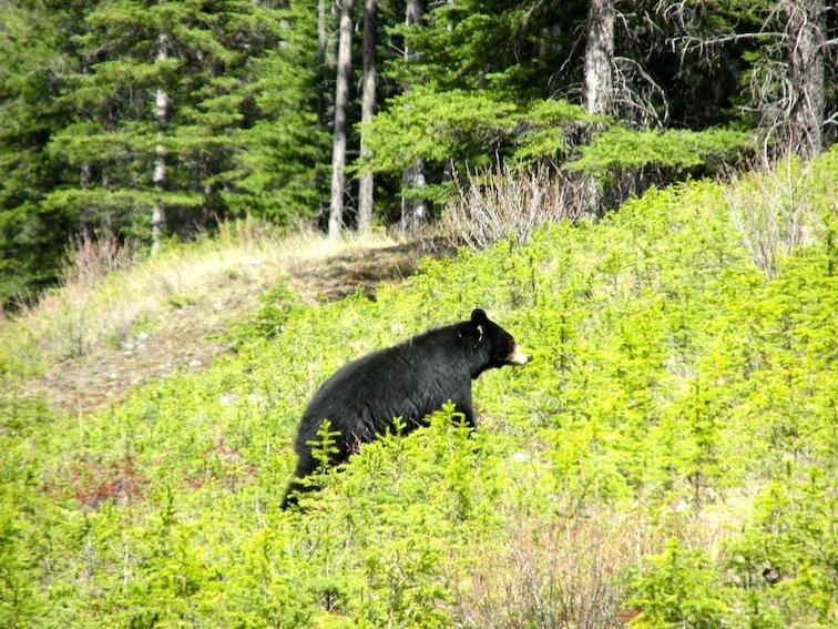 Banff National Park Alberta Canada Black Bear