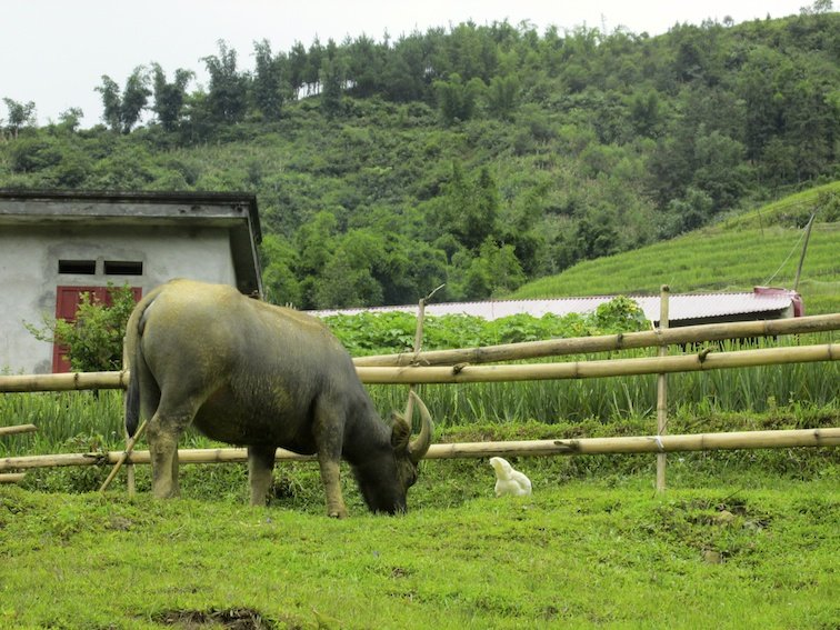 Sapa Vietnam Rice Fields Southeast Asia Cow Bull Livestock