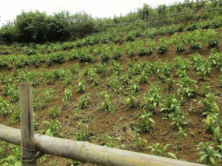 Sapa Vietnam Rice Fields Southeast Asia Garden Field Labor