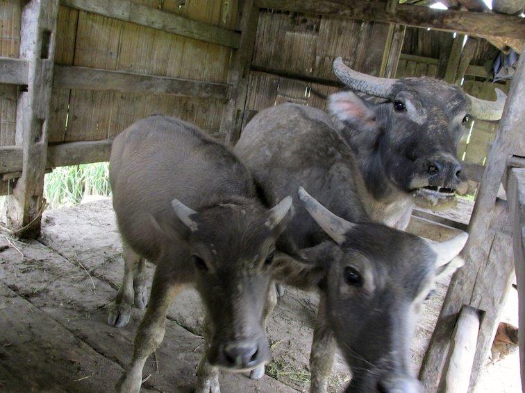 Sapa Vietnam Rice Fields Southeast Asia Livestock Cattle Cow Bull Barn