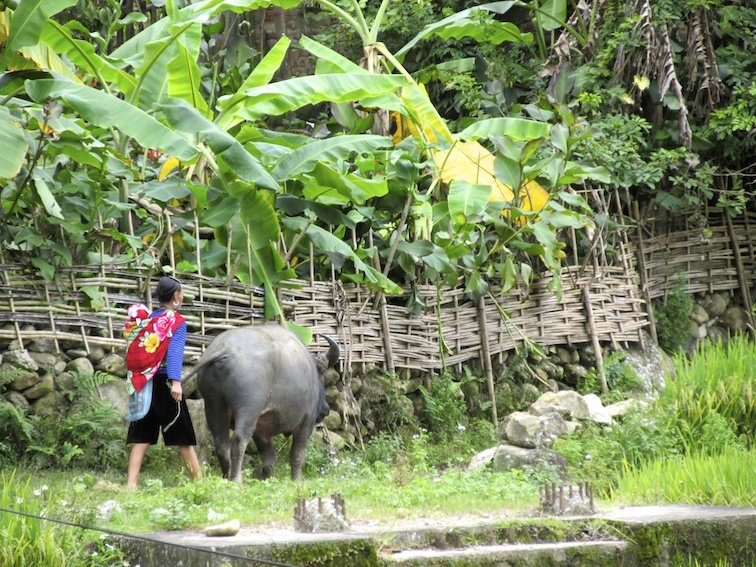 Sapa Vietnam Rice Fields Southeast Asia Buffalo Cow Bull Field Labor