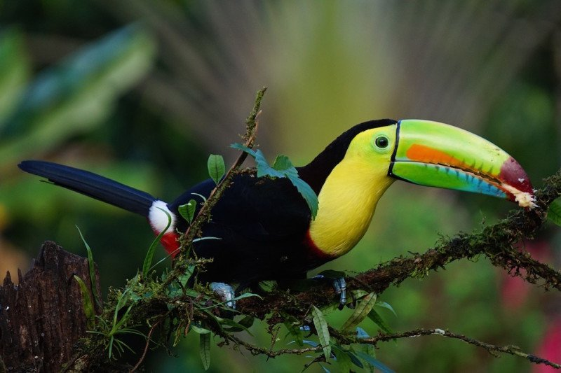 Keel Billed Toucan Exotic Birds Costa Rica Central America Cloud Forest Tour