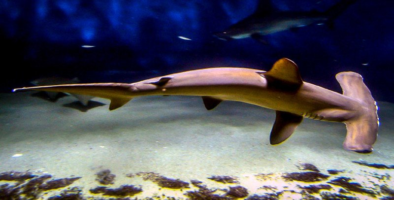 Hammerhead Shark Diving Dive Diver Ocean Sea Floor