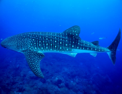 Top 5 Locations to Shark Dive in the Caribbean