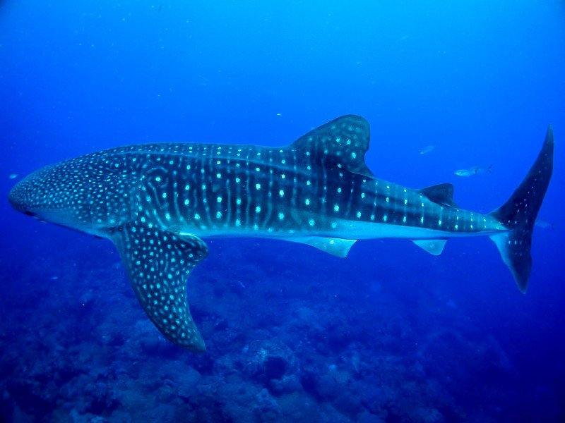 Diving Whale Shark Ocean Mexico Dive Diver Blue Fish