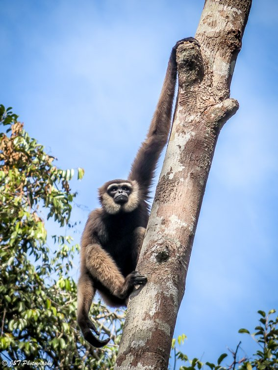 Gibbon, Tanjung punting national park, Indonesia Borneo