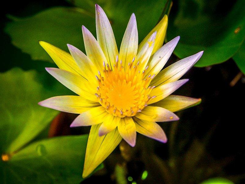 Bloemenmarkt Amsterdam Flower Lotus