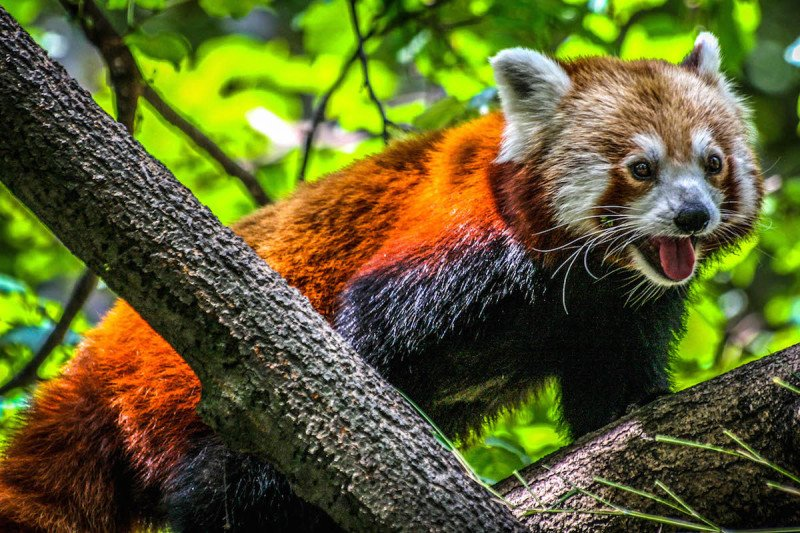 Central Park Zoo New York New York Red Panda