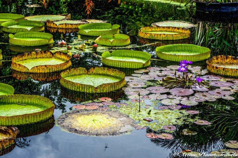 Naples Paradise Coast Florida Botanical Garden Flowers Lilley Pad Floating