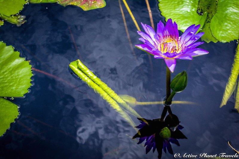 Naples Paradise Coast Florida Botanical Garden Flowers Purple Violet