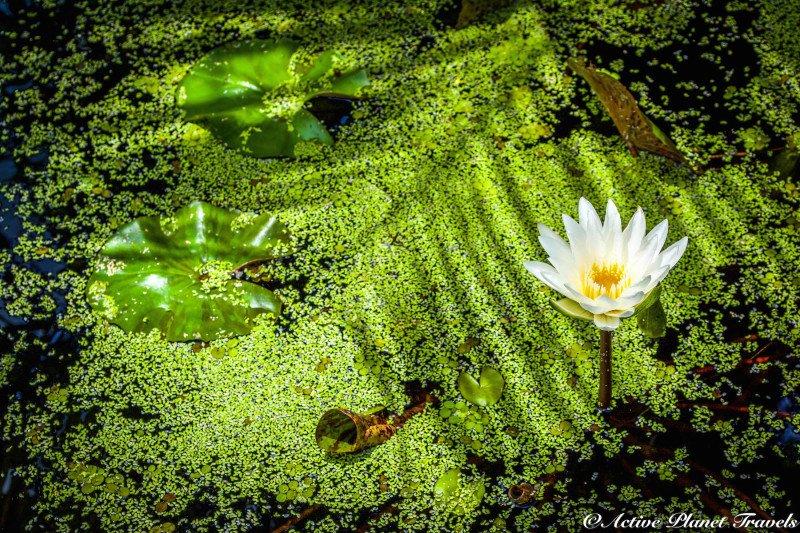 Naples Paradise Coast Florida Botanical Garden Flowers Lilley Pad White Green Algae