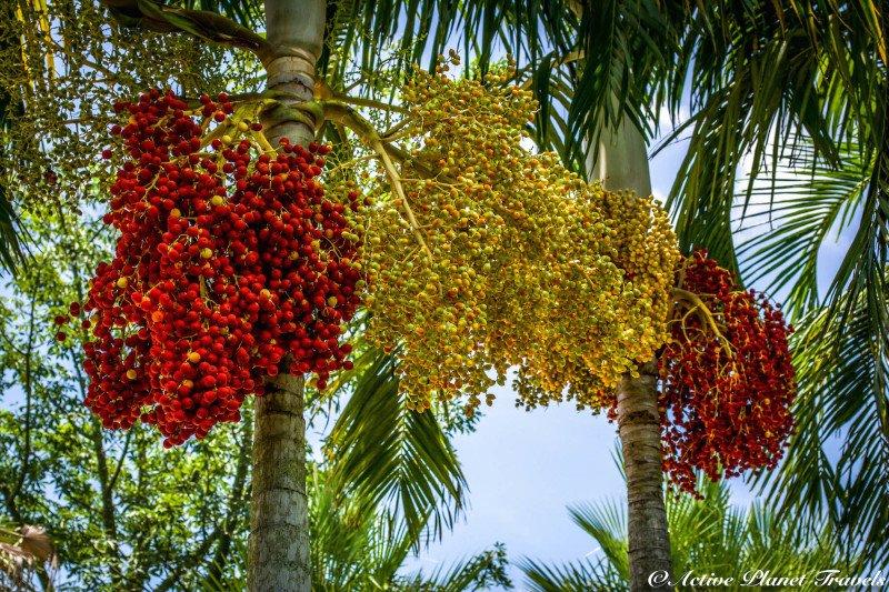 Naples Paradise Coast Florida Botanical Garden Flowers Palm Tree Fruit