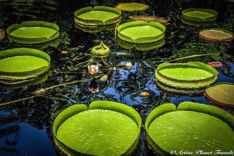 Naples Paradise Coast Florida Botanical Garden Flowers Floating Lilley Pads