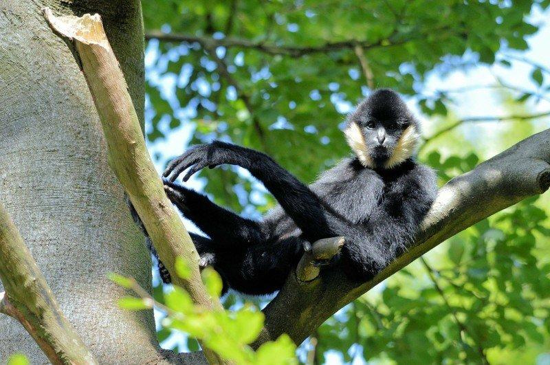 Gibbon Experience Laos Tree Monkey Primate Monkey Eco-friendly travel