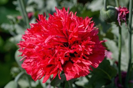 Alicante Spain Red Carnation National Flower