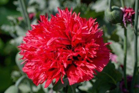 Budget escapades in lively alicante spain for Plantas ornamentales clavel