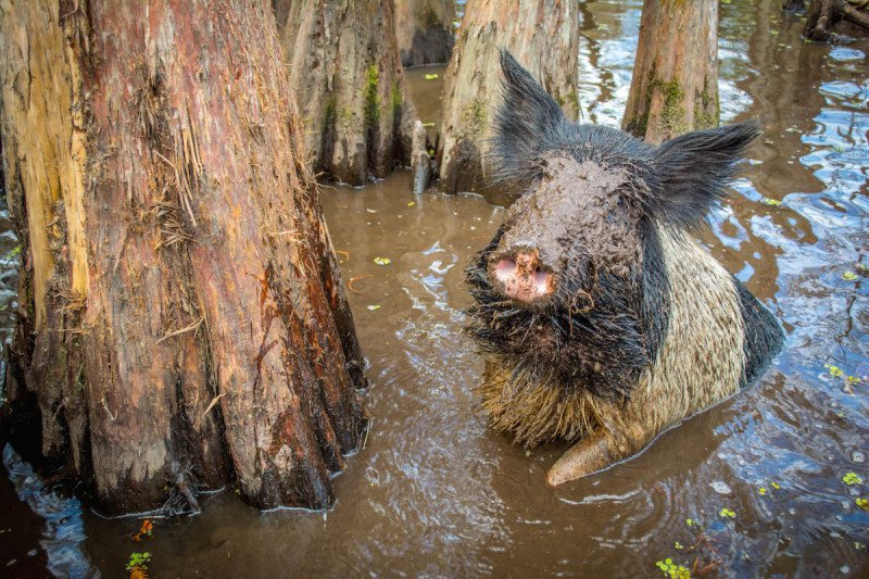 Cajun Encounters New Orleans Swamp Tour Louisiana Wild Boar Hog