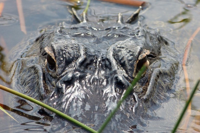 Alligator, Naples, Florida, Everglades, Cypress, Swamp