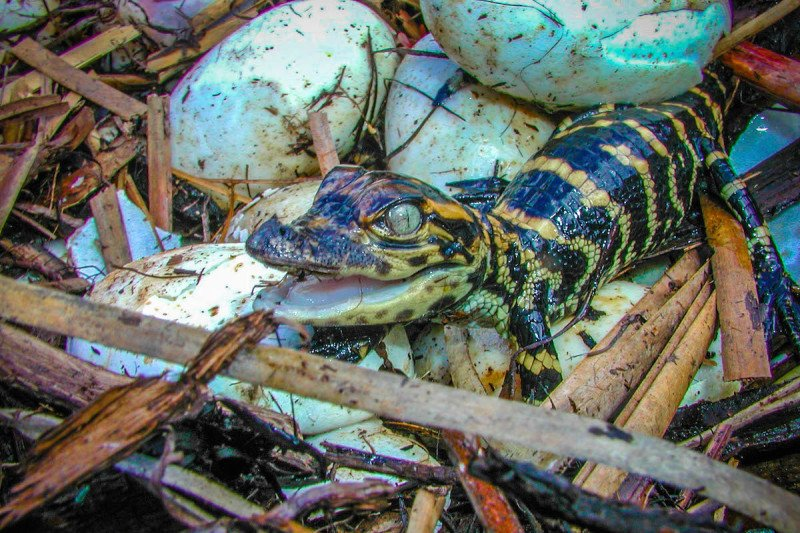 Baby Alligator, Naples, Florida, Everglades, Cypress, Swamp